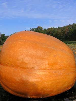 Big Max Pumpkin - Heirloom Vegetable - 10 Seeds