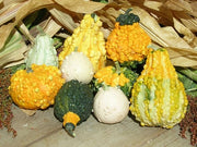 Mini Ornamental Gourds - Heirloom Vegetable - 10 Seeds