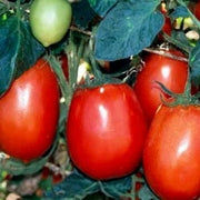 Rio Grande Tomato - Heirloom Vegetable - 50 Seeds