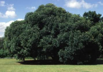 Olea Europaea ssp Africana - Wild Olive - Indigenous South African Tree - 10 Seeds