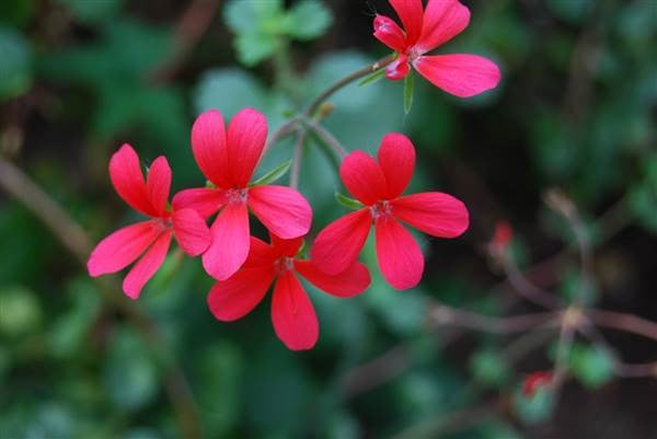 Pelargonium Tongaense - Tonga Pelargonium - Indigneous African Shrub - 10 Seeds