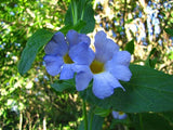 Thunbergia Natalensis - Dwarf Thunbergia - Indigenous South African Shrub - 10 Seeds