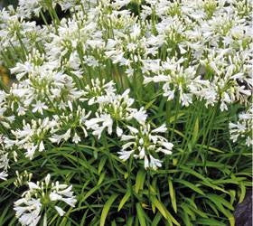 Agapanthus Nana White - Indigenous South African Bulb - 10 Seeds
