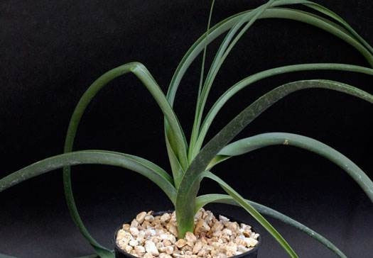 Albuca tortuosa   - Indigenous South African Bulb - 10 Seeds