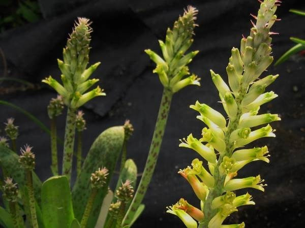 Lachenalia algoensis - Indigenous South African Bulb - 10 Seeds