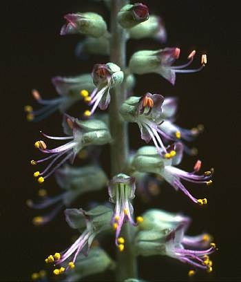 Lachenalia haarlemensis - Indigenous South African Bulb - 5 Seeds