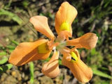 Moraea miniata (yellow) - Indigenous South African Bulb - 10 Seeds