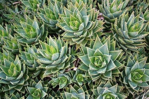 Aloe perfoliata - Indigenous South African Succulent - 10 Seeds
