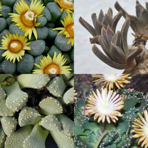 Aloinopsis mixture - Indigenous South African Succulent - 10 Seeds