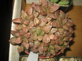 Anacampseros arachnoides - Indigenous South African Succulent - 10 Seeds