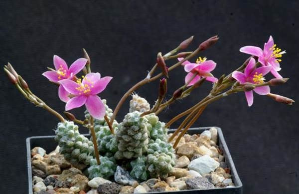 Anacampseros baeseckei - Indigenous South African Succulent - 5 Seeds