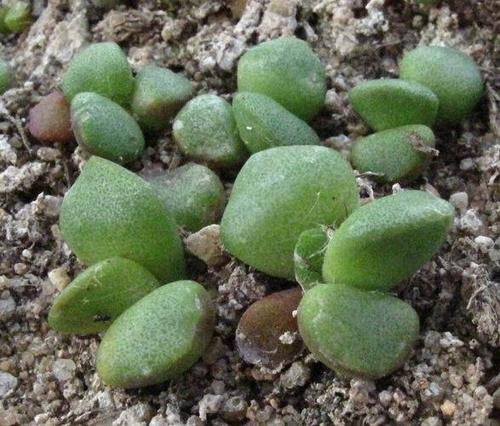 Anacampseros pisina - Indigenous South African Succulent - 10 Seeds