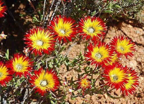 Drosanthemum micans - Indigenous South African Succulent - 10 Seeds