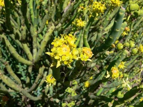 Euphorbia mauritanica - Indigenous South African Succulent - 10 Seeds