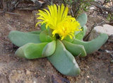 Glottiphyllum herrei - Indigenous South African Succulent - 10 Seeds