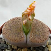 Lithops aucampiae var koelemanii - Living Stones - Indigenous South African Succulent - 10 Seeds