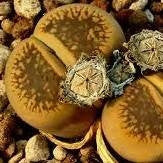 "Lithops aucampiae ""Storms snowcap"" - Living Stones - Indigenous South African Succulent - 10 Seeds"