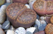 Lithops bromfieldii glaudinia - Living Stones - Indigenous South African Succulent - 10 Seeds