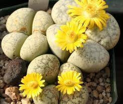 Lithops francisci - Living Stones - Indigenous South African Succulent - 10 Seeds