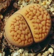 Lithops hookeri lutea - Living Stones - Indigenous South African Succulent - 10 Seeds
