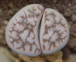 Lithops karasmontana eberlanzii - Living Stones - Indigenous South African Succulent - 10 Seeds