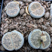 Lithops lesliei burchellii - Living Stones - Indigenous South African Succulent - 10 Seeds
