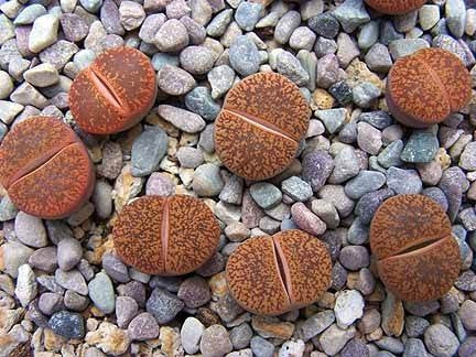Lithops lesliei hornii - Living Stones - Indigenous South African Succulent - 10 Seeds