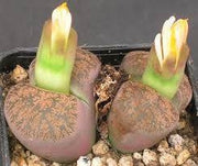 Lithops lesliei minor - Living Stones - Indigenous South African Succulent - 10 Seeds