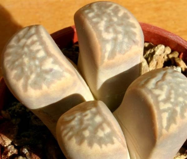 Lithops marmorata - Living Stones - Indigenous South African Succulent - 10 Seeds