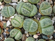 Lithops ozteniana - Living Stones - Indigenous South African Succulent - 10 Seeds