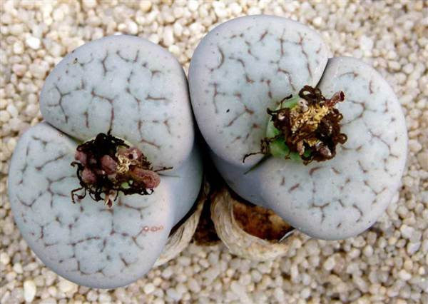 Lithops pseudotruncatella alpina - Living Stones - Indigenous South African Succulent - 10 Seeds