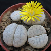 Lithops pseudotruncatella archerae - Living Stones - Indigenous South African Succulent - 10 Seeds