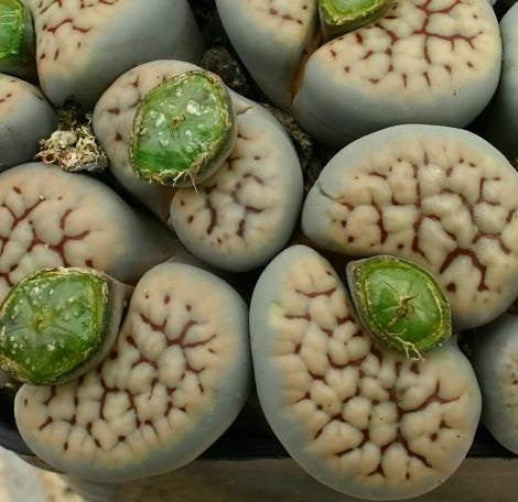 Lithops schwantesii - Living Stones - Indigenous South African Succulent - 10 Seeds