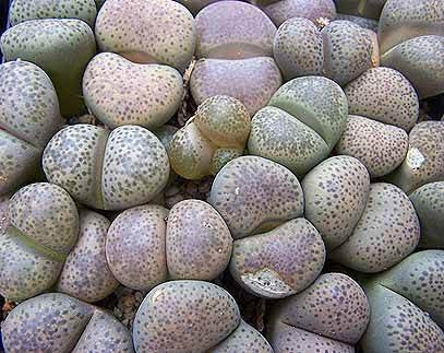 Lithops terricolor - Living Stones - Indigenous South African Succulent - 10 Seeds