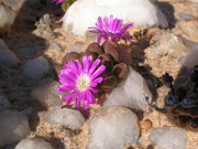 Oophytum nanum - Indigenous South African Succulent - 10 Seeds