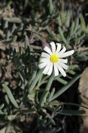 Othonna alba - Indigenous South African Succulent - 10 Seeds