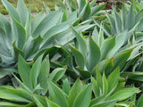 Agave attenuata - Lions Tail Agave - Exotic Succulent - 5 Seeds