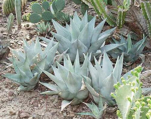 Agave desertii - Desert Agave - Exotic Succulent - 10 Seeds