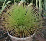 Agave gemminiflora - Hedgehog Agave - Exotic Succulent - 10 Seeds