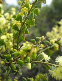Acacia littorea - Australian Tree - 10 Seeds