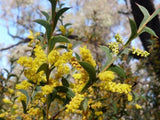 Acacia triptera - Spurwing Wattle - Australian Tree - 10 Seeds