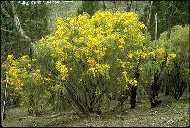 Acacia vestita - Hairy Wattle - Australian Tree - 10 Seeds