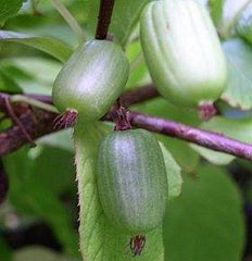 Actinidia Kolomikta - Exotic Shrub - 10 Seeds