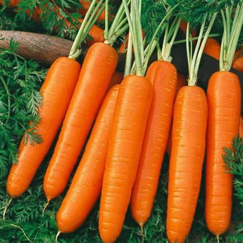 Nantes Scarlet Carrot - ORGANIC - Heirloom Vegetable - 200 Seeds