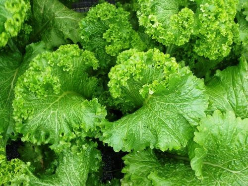 Southern Giant Curled Mustard Greens - ORGANIC - Heirloom Vegetable - 200 Seeds