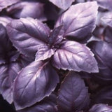 Red Rubin Basil - Herb - 100 Seeds