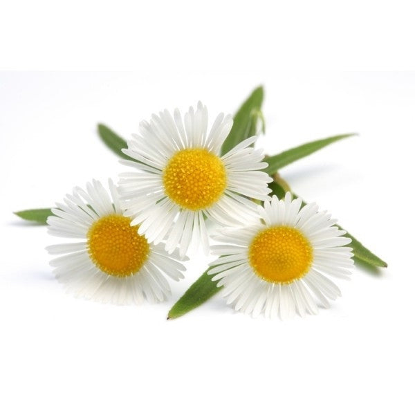 German Chamomile - ORGANIC - Herb - 250 Seeds