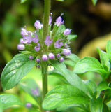 Pennyroyal - Herb - 250 Seeds