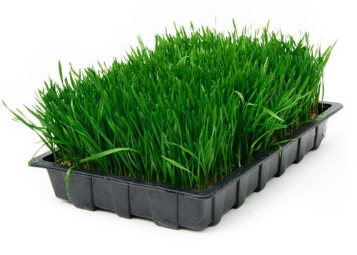 Wheatgrass - Sprouting Seeds