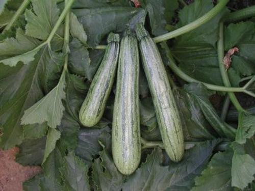 Caserta Squash / Baby Marrow - Bulk Vegetable Seeds